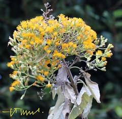 Butterfly Weed, El Salvador (ssspnnn) Tags: apocynaceae sansalvador butterflyweed asclepiastuberosa apocinacea hiltonprincess spereira canoneos70d spereiranunes snunes spnunes