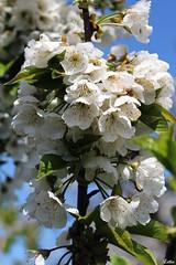 IMG_0291 ( Lettie Photography ) Tags: flowers flower macro nature fleur colors fleurs garden cherry spring bluesky cherryblossoms printemps cerisierenfleurs