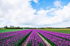 Fields of Gold (mattinho2704) Tags: flowers flower holland nature netherlands field clouds nikon tulips natur feld blumen bluesky fields tulpen fleder nikond300