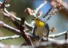 Grace's Warbler (hollykleindienst) Tags: warbler graces