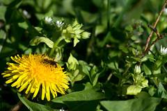 20160331_0027 (mystic_violet) Tags: vienna wien flower yellow austria sterreich spring bee gelb blume biene frhling lwenzahn honigbiene schneswetter apismellifera gewhnlicherlwenzahn taraxacumsectruderalia nikond3300 darktable