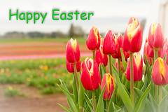 Happy Easter (NWPaddler) Tags: flowers flower oregon spring nikon tulips blossoms tulip woodenshoe woodburn 2016 willamettevalley d7000