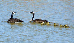 Father Goose doesn't look too happy (ctberney) Tags: nature pond wildlife goslings canadagoose brantacanadensis livingdangerously andthentherewerefive