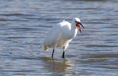 Little Egret (steven waddingham) Tags: fish bird canon rutland egret stevenwaddinghamphotography