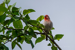 House Finch (C-Brese) Tags: house bird finch housefinch cbrese haemorhousmexicanus