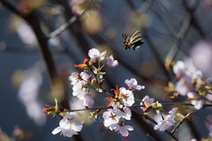 Luehdorfia japonica (kenta_sawada6469) Tags: pink flowers trees plants plant flower tree green nature colors japan forest butterfly insect cherry japanese spring butterflies insects bugs lepidoptera cherryblossom sakura papilionidae japaneseluehdorfia