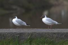 Vale Royal River Park (jharding534) Tags: moulton terns