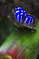 _MG_1150 (mariachiara.casali) Tags: nature beauty butterfly centro arc di campo variety morpho albero animale farfalla insetto padova pianta terme farfalle allaperto profondit abano montegrotto