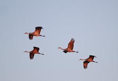 Cranes 2016 (littlebeahmer) Tags: nebraska migration sandhillcranes platteriver