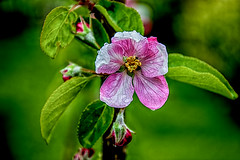 Apple blossoms (scorpion (13)) Tags: color tree apple nature garden droplets spring little blossoms creative photoart