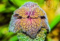 Lamium purpureum - 105mm macro (ben.scalf) Tags: ohio plant flower macro texture nature closeup nikon cincinnati science micro dslr lightroom 105mm d3200 bology