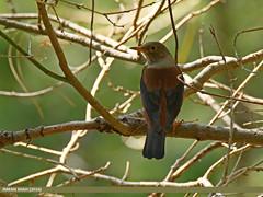 Chestnut Thrush (Turdus rubrocanus) (gilgit2) Tags: pakistan birds fauna canon geotagged wings wildlife feathers tags location species tamron category avifauna abbottabad kpk khairagali turdusrubrocanus imranshah canoneos7dmarkii tamronsp150600mmf563divcusd gilgit2 chestnutthrushturdusrubrocanus