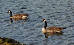 Mr & Mrs Goose. (Remi Haugen) Tags: nature birds animals norway norge natur goose nordmre