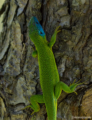 Green skin (spevin) Tags: nikon animale sicilia ramarro rettile d7200