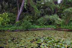 Lily pond (Danielle_M_Bedics) Tags: green nature water rain garden pond waterlily lily rainyday relaxing peaceful tranquil lilypond waterelement
