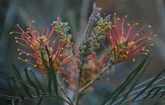 Grevillea (Carine06) Tags: kewgardens flower royalbotanicgardens grevillea coastalsunset ktt1987
