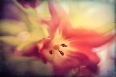 Creamy Tulip (fs999) Tags: flower macro texture fleur paintshop effects pentax sigma labs paintshoppro f18 blume makro k5 topaz corel bloem 1835 aficionados pentaxist 800iso artcafe hsm sigma1835 masterphotos textureeffects pentaxian ashotadayorso macrolife justpentax topqualityimage zinzins flickrlovers topqualityimageonly fs999 fschneider pentaxart pentaxk5iis k5iis sigmaart1835mmf18dchsm x8ultimate paintshopprox8ultimate