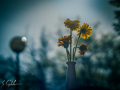 DSC08845 (SimonTheSoundGuy) Tags: flower field 50mm minolta sony sunny 17 af depth a65