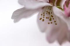 sakura (okimayunyan0511) Tags: