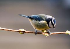 A3-600DPI-9022 (Paul Wynn Photography) Tags: birds scotland tits gardenbirds scottishbirds sexybirds