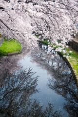 2016 #2 (kobaken++) Tags: flower texture nature japan lens cherry eos spring bokeh bloom   5d serene      mark2 wakaizumi    kobaken    kenkoba