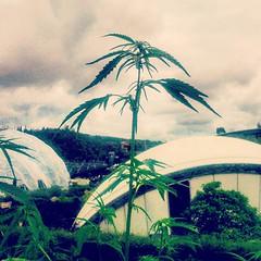 Hemp use #hemp #hempseeds #marijuana #Cornwall... (nathanrobinson2) Tags: england green nature cornwall natural edenproject marijuana hemp hempseeds uploaded:by=flickstagram instagram:venue=205573 edenphotocomp instagram:venuename=edenproject instagram:photo=1058805203016614543184137303 hemplife