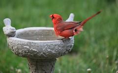 CARDINAL PASSING GAS (smittyguy) Tags: cardinal birding fart kansas passinggas