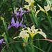 J20160411-0157—Iris douglasiana—RPBG