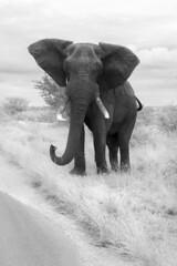 B&W Ellie (Sheldrickfalls) Tags: elephant southafrica krugernationalpark krugerpark kruger olifant limpopo letaba elephantbull letabacamp loxodantaafricana