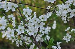 Prunus cerasus - Ciliegio Visciola (douneika) Tags: prunus ciliegio cerasus rosaceae visciola