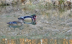 The Retun Of The Wood Ducks! (+David+) Tags: pair woodducks firstin2years songbirdpond