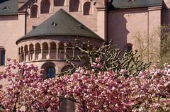 Mainz, Liebfrauenplatz, Dom St. Martin (St. Martin's Cathedral) (HEN-Magonza) Tags: main liebfrauenplatz domstmartin stmartinscathedral rheinlandpfalz rhinelandpalatinate deutschland germany japanischezierkirsche japanesecherry prunusserrulatakanzan