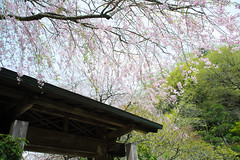20160410-DSC_7563.jpg (d3_plus) Tags: sky plant flower history nature japan trekking walking temple nikon scenery shrine bokeh hiking kamakura fine daily bloom  28105mmf3545d nikkor    kanagawa   shintoshrine   buddhisttemple dailyphoto sanctuary   thesedays kitakamakura  28105   fineday   28105mm  holyplace historicmonuments  zoomlense ancientcity        28105mmf3545 d700 281053545 nikond700  aiafzoomnikkor28105mmf3545d 28105mmf3545af aiafnikkor28105mmf3545d