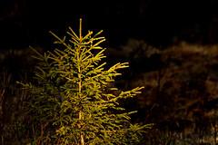 Dark and light (siimvaar) Tags: light sunlight tree dark spruce