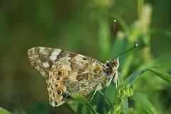 farfalla - nikkor 55-300 (ecordaphoto) Tags: primavera nature butterfly spring nikon natura dx 55300 d5100