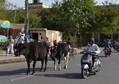 Cows dont care!! (cn174) Tags: pink india sundial observatory jaipur rajasthan equinox jantarmantar pinkcity samratyantra jaiprakashyantra maharajajaisinghii