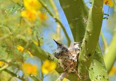 DSC_0868 (Eleu Tabares) Tags: flower bird animal fly hummingbird nectar nesting