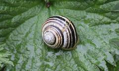 0936 Cepaea hortensis (jon. moore) Tags: staffordshire gastropoda cepaeahortensis whitelippedsnail staffordshireuniversitynaturereserve