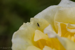 Life on a Rose Petal (Gabriel FW Koch) Tags: sun sunlight flower macro reflection nature rose yellow closeup canon bug garden insect outside fly petals bokeh naturallight drop droplet rosegarden rosebush raindrop flyinginsect eos5dmarkiii