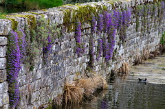 The wall and the purple plants. (pstone646) Tags: flowers plants colour bird nature wall reflections river kent flora purple moorhen aubritia