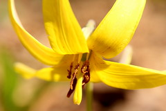 Trout Lily Macro - Yellow (Salamanderdance) Tags: wild plant flower yellow tongue spring lily trout vernal adders