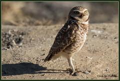 Happy Sunday 5924 (maguire33@verizon.net) Tags: california ontario bird us unitedstates wildlife owl burrowingowl