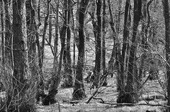 #30/100 Winter woodland (Rum Bucolic Ape) Tags: wood trees blackandwhite bw woodland lakedistrict cumbria trunks nationaltrust tarnhows
