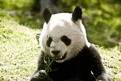 s panda (gemicr69) Tags: madrid china bear espaa animal mammal oso spain europa europe sony os alpha espagne chine xina ours espanya a300 mamifero mamifer dslra300 joangarciaferre gemicr gemicr69