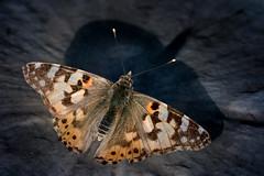 Vanessa cardui (Bernd Thaller) Tags: animal butterfly insect outdoor croatia depthoffield hr schmetterling istria kroatien vanessacardui bookeh distelfalter organicpattern golovik