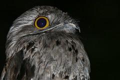 Bruja (Nyctibius jamaicensis) (kennydiazj) Tags: sierra northern bruja jamaicensis potoo nyctibius bahoruco
