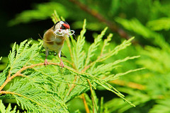 Time to build home (Lucio Busa) Tags: bird nature birds animals lens sigma natura uccelli telephoto catch migratory mm animali naturalistic migratori naturalistica sonyalpha cardellino 150500