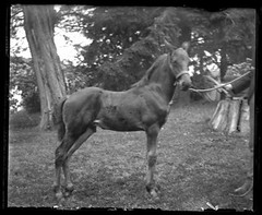 Victorian photograph of a colt in Fallston, Maryland (Remsberg Photos) Tags: blackandwhite horse usa vintage antique maryland historic crop scanned halter colt foal yearling glassplate fallston bonair harfordmd