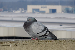 Cold (Lunken Spotter) Tags: columbus ohio bird nature birds animal animals flying airport wings natural pigeon wildlife pigeons flight feathers oh airports flughafen feathered franklincounty portcolumbus feralpigeon portcolumbusinternationalairport columbaliviadomestica centralohio portcolumbusairport