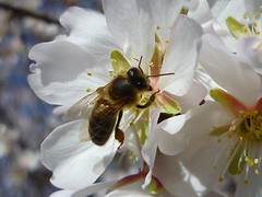 z Almendros en flor (3) (calafellvalo) Tags: winter abejas spain bees almond catalonia polen invierno tarragona mediterrneo abeilles almondblossom almondtree mandelblte winterflowers calafellvalo rodadeber rodadebara mandorloinfiore almendrosenflor floresdeinvierno floresalmendrosinviernoalmondtreeblossomamandiercalafellvalobeespolenwinter